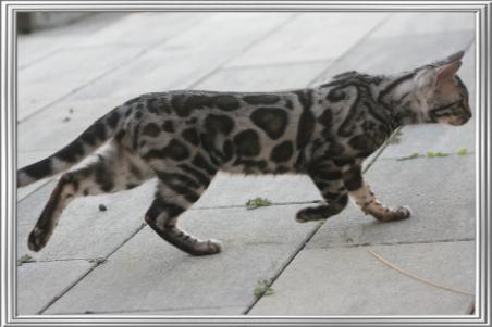 Katzekristallhalskette Qualität Anhänger Crystal Animals DE Bengal